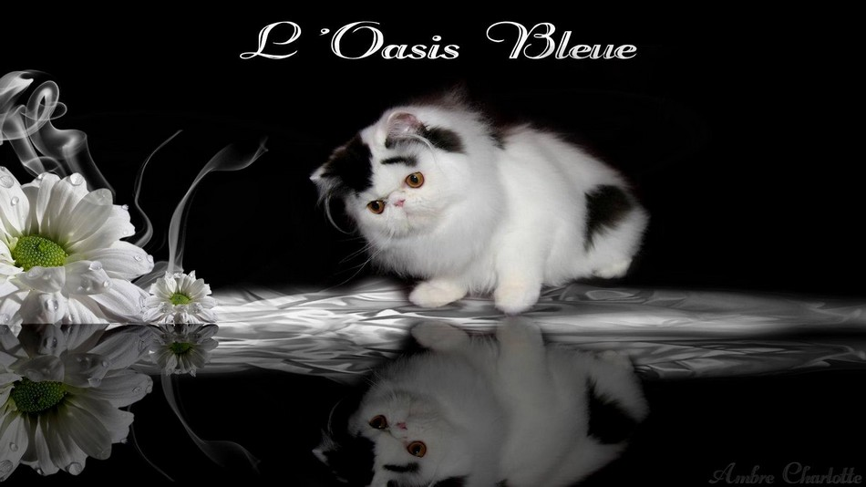 LORIEN`CATS EDEIRDOWN OF OASIS BLEUE